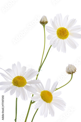 Foto op Canvas Madeliefjes The beautiful daisy isolated on white