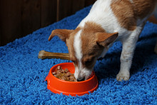 Puppy Eating Food From Dish, On Wooden Wall Background