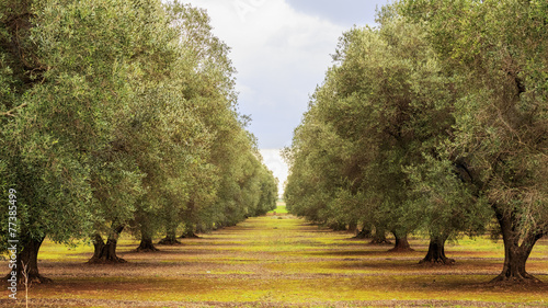 In de dag Olijfboom olive grove