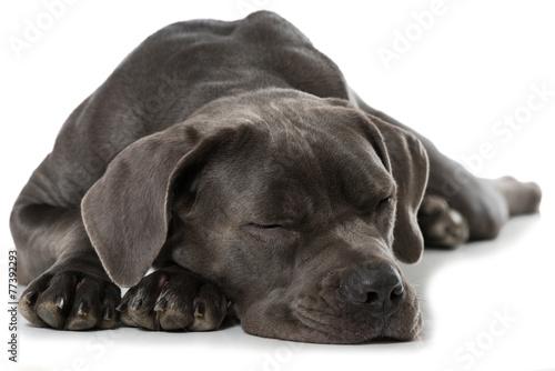 Schlafender Cane Corso