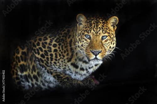In de dag Panter Leopard