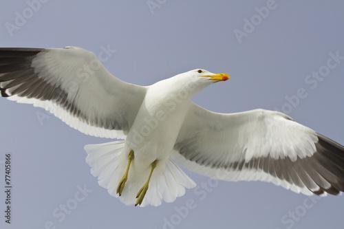 Fotografie, Obraz Möve am fliegen
