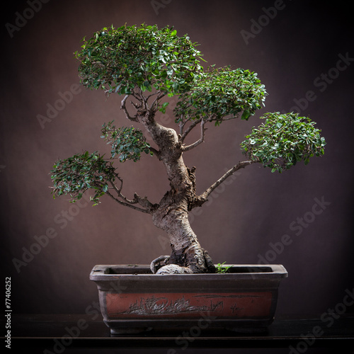 Foto op Aluminium Bonsai Agrume bonsai