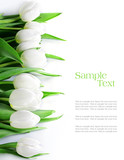 Fototapeta Tulipany - tulips in a row, isolated on white