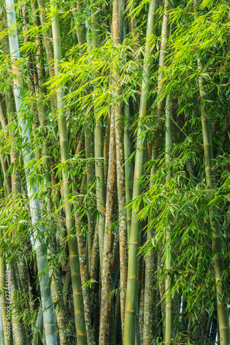 Foto op Canvas Bos in mist big fresh bamboo grove in forest