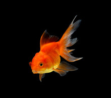 Gold Fish Isolated On Black Background