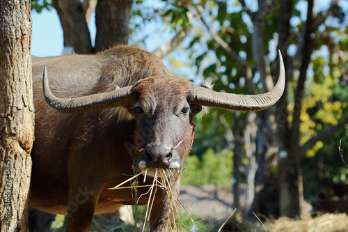 Aluminium Prints Buffalo water buffalo