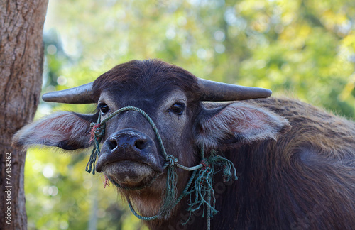 Photo Stands Buffalo water buffalo