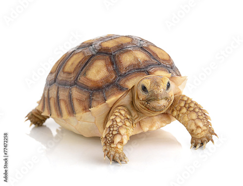 Deurstickers Schildpad turtle on white background