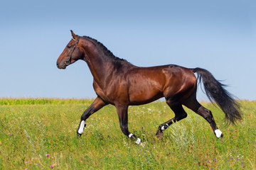 Bay horse trotting in summer field