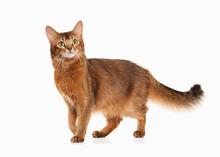Cat. Somali Cat Ruddy Color On...
