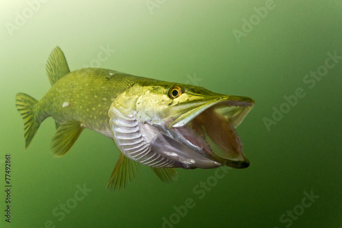Fotografía  Pike in the lake with opened jaw