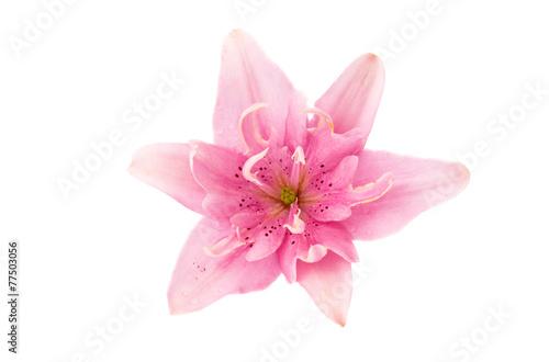 lily flower © ksena32