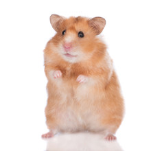Syrian Hamster Standing Up