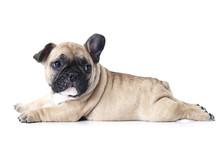French Bulldog Puppy Lying On ...