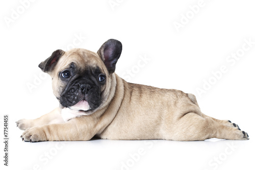 Canvas Print French bulldog puppy lying on white background