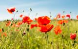 Fototapeta Kwiaty - summer blooming poppy field