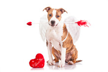 Puppy Dressed As A Valentine Cupid Holding An Arrow In His Mouth