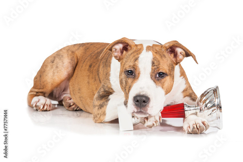 American staffordshire terrier puppy with a winner cup - Buy