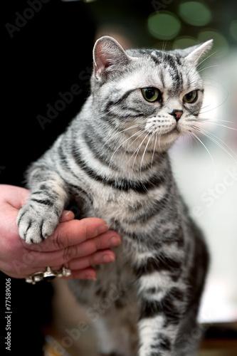 Fototapety, obrazy: american short hair cat portrait at cat show