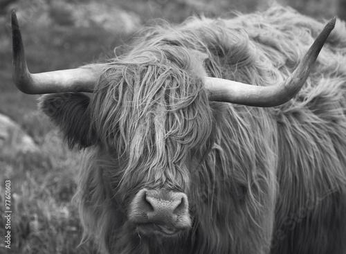 Fototapety, obrazy: Scottish cow in Lewis isle. Hebrides. UK