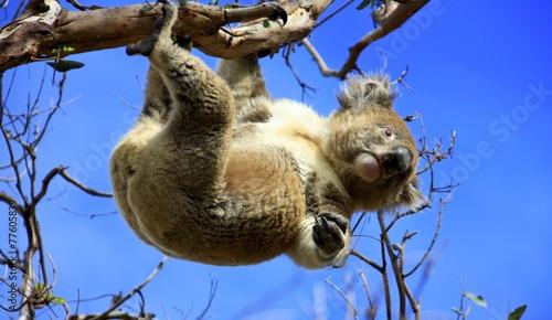 Garden Poster Koala Koala hanging
