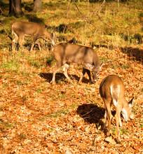 Whitetailed Deer Grazing