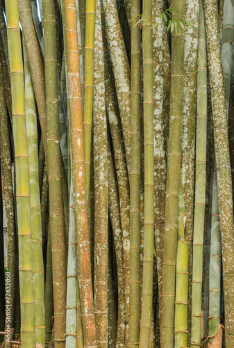 Papiers peints Bambou big fresh bamboo grove in forest