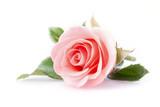 różowy kwiat róży na białym tle