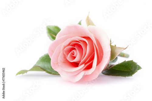 Foto op Canvas Roses pink rose flower on white background