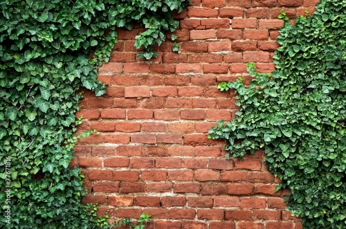 Tablou Canvas Old brick wall covered in ivy