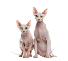 Two Sphinxes