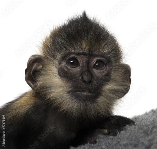 zblizenie-malego-dziecka-francois-langur-4-miesiace