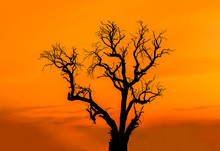 Silhouette Dead Tree Without Leaves On The Sunset