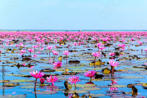Garden Poster Lotus flower Sea of pink lotus in Udon Thani, Thailand (unseen in Thailand)