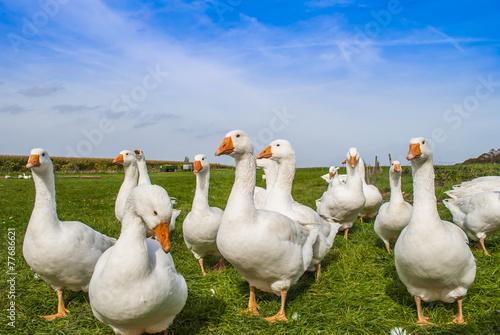 Obraz na płótnie White geese