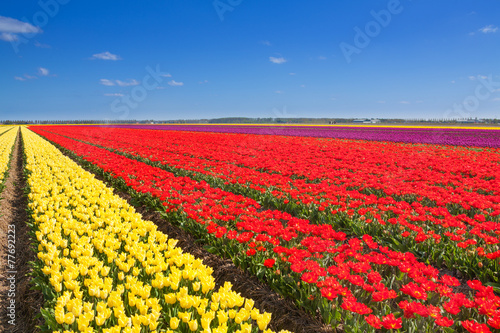 Wonderful tulip field rows with sky horizon
