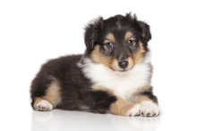 Shetland Sheepdog Puppy Portrait