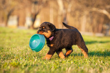 Rottweiler Puppy Holding A Bowl In His Mouth