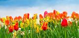 Tulipany i narcyzy