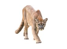 Puma Isolated