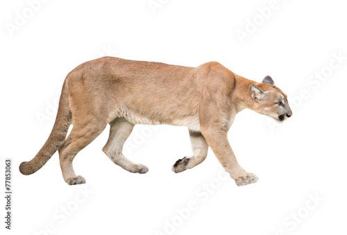 Spoed Foto op Canvas Puma puma isolated
