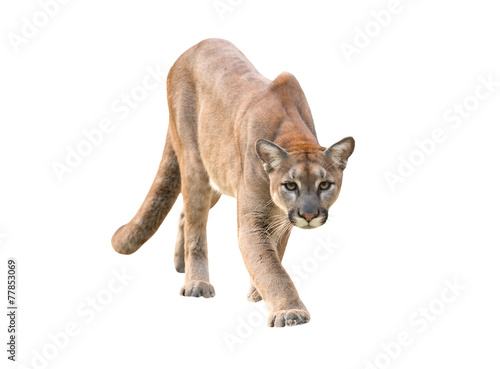 Tuinposter Puma puma isolated