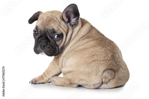 Poster Bouledogue français French bulldog puppy sitting on white background
