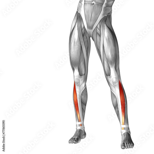 Conceptual 3D human front lower leg muscle anatomy - Buy
