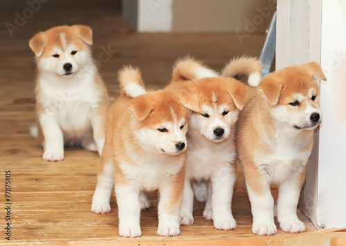Photo Four puppies of Japanese akita-inu breed dog