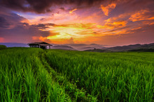 Paddy In The Sunset, Chiangmai...