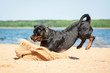 Rottweiler dog playing on the beach