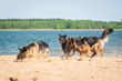 Three dogs playing on the beach