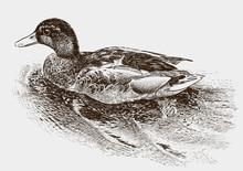 Floating Wild Duck